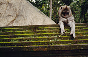 Mammals Prints - A Monkey Sits Contemplatively Print by Justin Guariglia