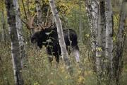 Moose Photos - A Moose Alces Alces Americana With An by Annie Griffiths