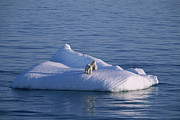 Ice Floes Art - A Mother And Her Two Year Old Cub On An by Paul Nicklen