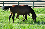 Grazing Horse Posters - A Mother and Little One Poster by Bill Cannon