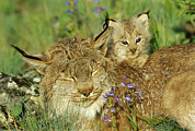 Lynxes Photos - A Mother Canadian Lynx Rests by Norbert Rosing