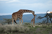 Wary Prints - A Mother Giraffe Nuzzles Her Baby Print by Pete Mcbride