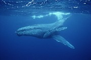Bonding Metal Prints - A Mother Humpback Whale And Her Baby Metal Print by Wolcott Henry