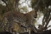 Botswana Prints - A Mother Leopard Playing Print by Beverly Joubert