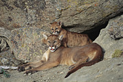 Wildcats Posters - A Mother Mountain Lion And Her Cub Rest Poster by Norbert Rosing