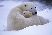 Polar Bear (ursus Maritimus) Posters - A Mother Polar Bear And Her Cub Poster by Paul Nicklen