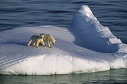 Animal Family Prints - A Mother Polar Bear And Her Cub Ride Print by Paul Nicklen