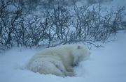 Churchill Wild Posters - A Mother Polar Bear Sleeps In The Snow Poster by Maria Stenzel