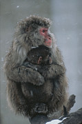 Macaques Prints - A Mother Snow Monkey, Or Japanese Print by Annie Griffiths