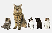 Cut Out Photos - A Mother With Four Kittens All Sitting In A Row. by Nicola Tree