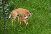 Feeding Posters - A Mothers Love - Doe and Fawn Poster by Christine Till