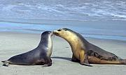 Sea Lion Photos - A Mothers Love by Mike  Dawson