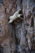 Climbing Posters - A Mountain Goat Descends A Sheer Rock Poster by Joel Sartore