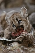Wildcats Posters - A Mountain Lion Cub, Felis Concolor Poster by Jim And Jamie Dutcher