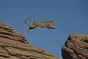 Wildcats Posters - A Mountain Lion Leaps From A Rocky Poster by Norbert Rosing