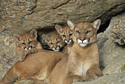 Roosting And Resting Posters - A Mountain Lion Mother With Her Young Poster by Norbert Rosing