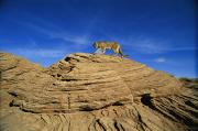 A Mountain Lions Walks Across This Print by Norbert Rosing