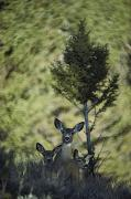 Etc. Photos - A Mule Deer Doe Is Flanked By Her Twin by Michael S. Quinton