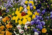 Albuquerque Prints - A Multi-colored Bed Of Pansies In Old Print by Stephen St. John