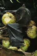 Figs Prints - A Native Species, The Musky Fruit Bat Print by Tim Laman