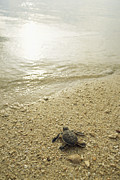 Sea Turtles Posters - A Newly Hatched Green Sea Turtle Making Poster by Tim Laman