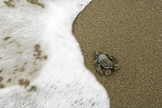 Survival Prints - A Newly Hatched Leatherback Turtles Print by Mauricio Handler