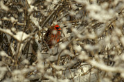 Red Bird In Snow Prints - A Northern Cardinal Hiding In A Snow Print by Tim Laman