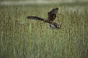 Flying Turkey Prints - A Northern Harrier Hawk Clutches An Print by Klaus Nigge