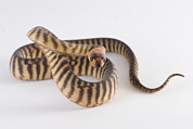 Northern Territory Framed Prints - A Northern Territory Woma Python Curled Framed Print by Brooke Whatnall