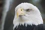 American Icons Prints - A One-eyed Bald Eagle Haliaeetus Print by Rich Reid