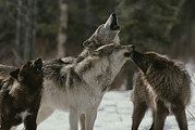 Bonding Metal Prints - A Pack Of Gray Wolves, Canis Lupus Metal Print by Jim And Jamie Dutcher