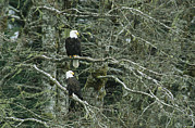 Roosting And Resting Posters - A Pair Of American Bald Eagles Perch Poster by Klaus Nigge