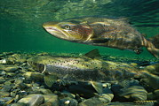 Mating Animals Photos - A Pair Of Atlantic Salmon Paired by Paul Nicklen