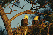 Roosting And Resting Posters - A Pair Of Bald Eagles Perch Poster by Klaus Nigge