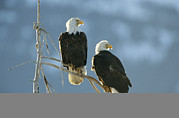 Roosting And Resting Posters - A Pair Of Bald Eagles Perch On A Tree Poster by Klaus Nigge