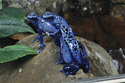 Rock Groups Posters - A Pair Of Blue Poison Dart Frogs Mate Poster by George Grall