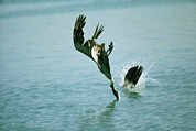 Flying Birds Prints - A Pair Of Brown Pelicans Diving Print by Bill Curtsinger