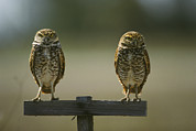 Animal Behavior Art - A Pair Of Burrowing Owls Perch by Klaus Nigge