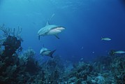 Reef Sharks Posters - A Pair Of Caribbean Reef Sharks Poster by Brian J. Skerry