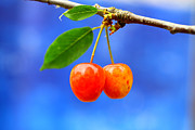 Y120817 Art - A Pair Of Cherries Riperning On A Tree In Summer by Martial Colomb
