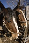 Lancaster Photos - A Pair Of Clydesdale Horses by Tim Laman