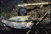 Cutthroat Trout Posters - A Pair Of Cutthroat Trout, Salmo Poster by Bill Curtsinger