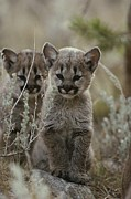 Wildcats Posters - A Pair Of Eight-week-old Cougar Poster by Jim And Jamie Dutcher