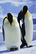 Antarctic Ocean Prints - A Pair Of Emperor Penguins, Aptenodytes Print by Bill Curtsinger