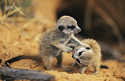 Meerkat Posters - A Pair Of Four-week-old Meerkat Pups Poster by Mattias Klum