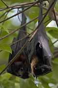 Bats Photos - A Pair Of Fruit Bats Roosting In A Tree by Randy Olson