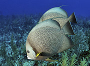 The Beauty Of Nature Art - A Pair Of Gray Angelfish On A Caribbean by Karen Doody