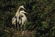 Ardea Herodias Posters - A Pair Of Great Blue Herons Protect Poster by Klaus Nigge