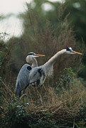 Ardea Framed Prints - A Pair Of Great Blue Herons Stand Framed Print by Klaus Nigge