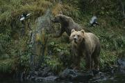 Bears Island Photos - A Pair Of Grizzly Bears Spook Some by Karen Kasmauski